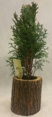 SINIRLI STOK Selvi Bonsai Doğal kütükte  Kırşehir online çiçekçi , çiçek siparişi