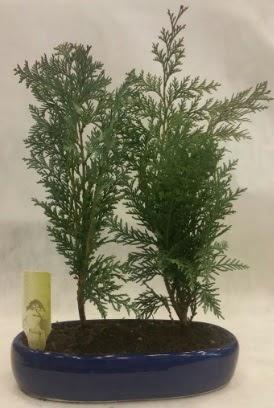 SINIRLI SAYIDA Selvi Ağacı bonsai ikili  Kırşehir çiçek yolla