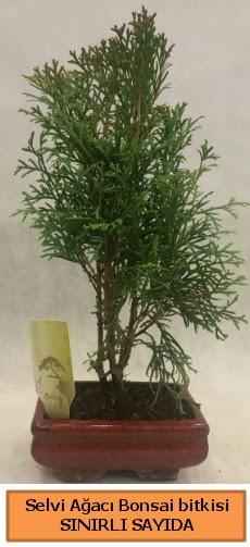 Selvi ağacı bonsai japon ağacı bitkisi  Kırşehir çiçek gönderme