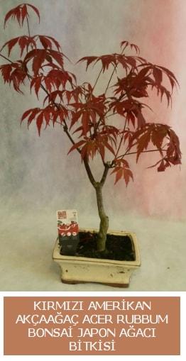 Amerikan akçaağaç Acer Rubrum bonsai  Kırşehir cicek , cicekci