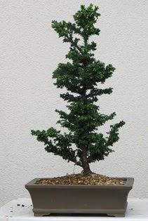Çam ağacı bonsai bitkisi satışı  Kırşehir çiçek yolla