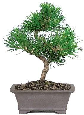 Çam ağacı bonsai japon ağacı bitkisi  Kırşehir çiçek gönderme sitemiz güvenlidir
