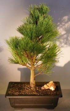 Çam ağacı japon ağacı bitkisi bonsai  Kırşehir çiçek yolla