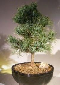 Çam ağacı bonsai bitkisi satışı  Kırşehir çiçek satışı