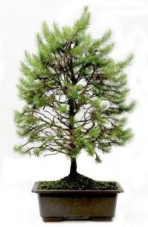 *** STOKTA YOK - Çam ağacı bonsai bitkisi satışı  Kırşehir online çiçek gönderme sipariş
