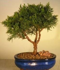 Servi çam bonsai japon ağacı bitkisi  Kırşehir İnternetten çiçek siparişi