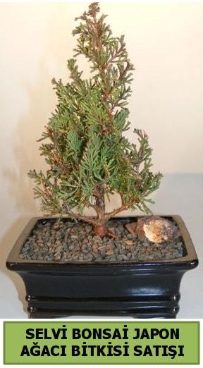 Selvi çam japon ağacı bitkisi bonsai  Kırşehir çiçek yolla