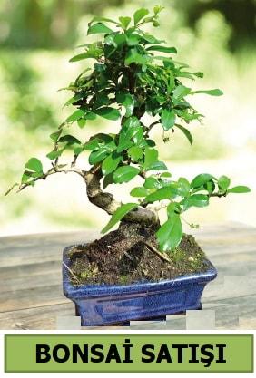 Çam bonsai japon ağacı satışı  Kırşehir çiçek gönderme