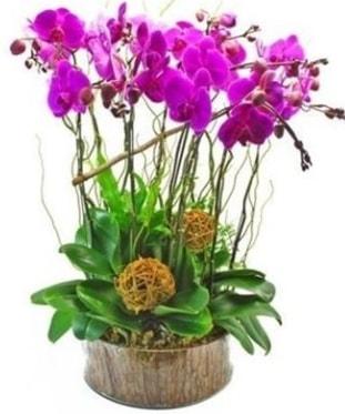 Ahşap kütükte lila mor orkide 8 li  Kırşehir çiçekçi mağazası