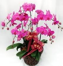 Sepet içerisinde 5 dallı lila orkide  Kırşehir çiçek satışı