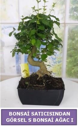 S dal eğriliği bonsai japon ağacı  Kırşehir çiçek gönderme