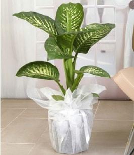Tropik saksı çiçeği bitkisi  Kırşehir çiçek gönderme