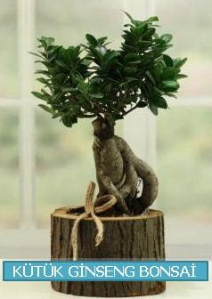 Kütük ağaç içerisinde ginseng bonsai  Kırşehir çiçek yolla , çiçek gönder , çiçekçi