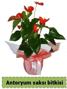 Antoryum saksı bitkisi satışı  Kırşehir çiçekçi telefonları