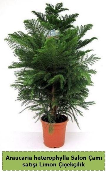 Salon Çamı Satışı Araucaria heterophylla  Kırşehir çiçek gönderme