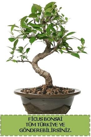 Ficus bonsai  Kırşehir çiçek yolla , çiçek gönder , çiçekçi