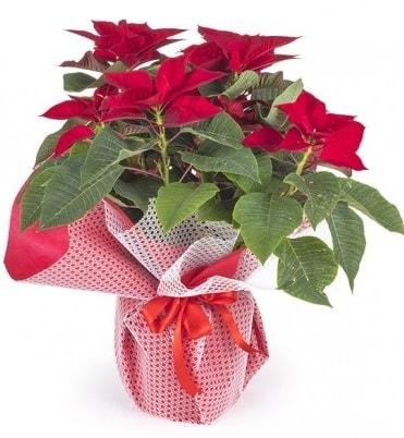 Atatürk çiçeği saksı bitkisi  Kırşehir çiçek yolla , çiçek gönder , çiçekçi
