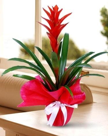 Guzmanya Saksı Çiçeği  Kırşehir İnternetten çiçek siparişi