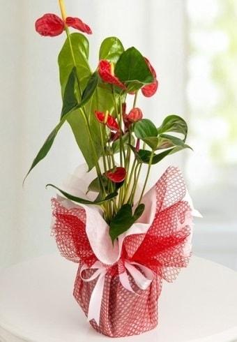 Anthurium Saksı Çiçeği  Kırşehir çiçek , çiçekçi , çiçekçilik