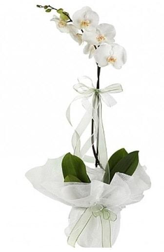 Tekli Beyaz Orkide  Kırşehir çiçek , çiçekçi , çiçekçilik