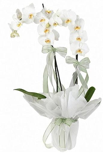 Çift Dallı Beyaz Orkide  Kırşehir uluslararası çiçek gönderme