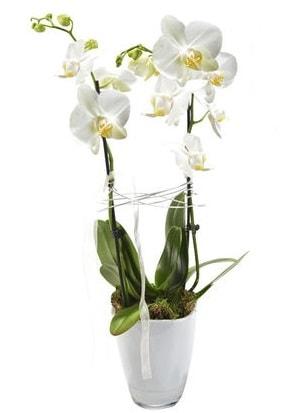 2 dallı beyaz seramik beyaz orkide saksısı  Kırşehir çiçek yolla , çiçek gönder , çiçekçi