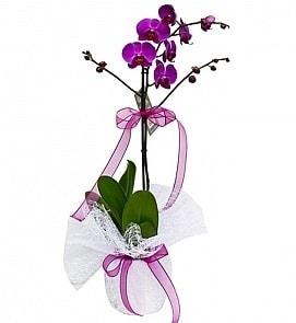 Tek dallı saksıda ithal mor orkide çiçeği  Kırşehir çiçek siparişi sitesi