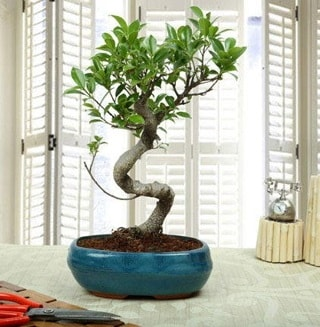 Amazing Bonsai Ficus S İthal  Kırşehir internetten çiçek satışı