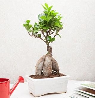 Exotic Ficus Bonsai ginseng  Kırşehir hediye sevgilime hediye çiçek
