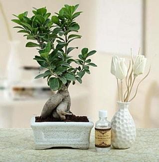 Ginseng ficus bonsai  Kırşehir çiçek siparişi sitesi
