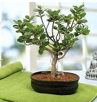 Lovely Ficus Iceland Bonsai  Kırşehir uluslararası çiçek gönderme