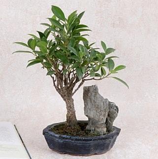 Japon ağacı Evergreen Ficus Bonsai  Kırşehir çiçek yolla , çiçek gönder , çiçekçi