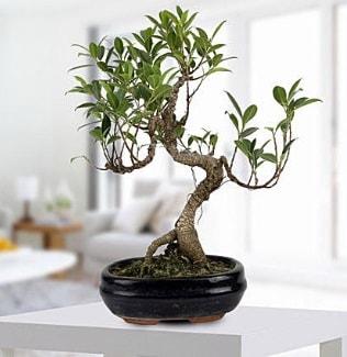 Gorgeous Ficus S shaped japon bonsai  Kırşehir kaliteli taze ve ucuz çiçekler