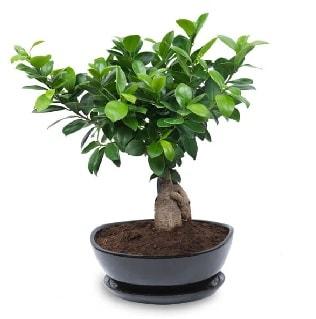 Ginseng bonsai ağacı özel ithal ürün  Kırşehir çiçekçi mağazası