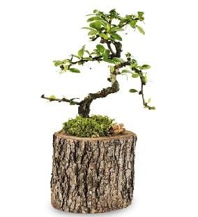 Doğal kütükte S bonsai ağacı  Kırşehir çiçek gönderme