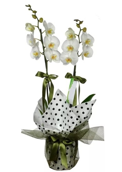 Çift Dallı Beyaz Orkide  Kırşehir cicekciler , cicek siparisi
