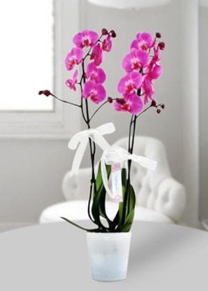 Çift dallı mor orkide  Kırşehir çiçek siparişi sitesi
