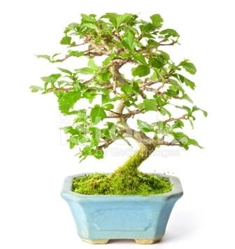 S zerkova bonsai kısa süreliğine  Kırşehir online çiçekçi , çiçek siparişi