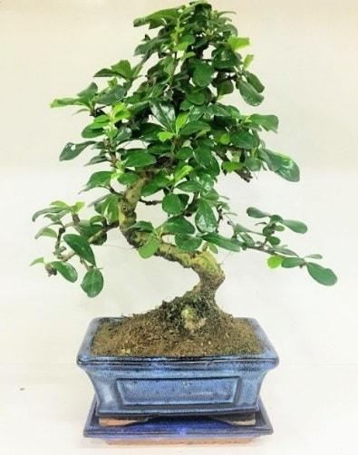 S Bonsai japon ağacı bitkisi  Kırşehir cicek , cicekci