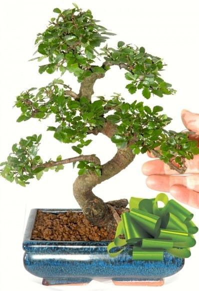 Yaklaşık 25 cm boyutlarında S bonsai  Kırşehir hediye çiçek yolla