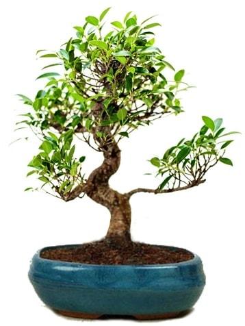 25 cm ile 30 cm aralığında Ficus S bonsai  Kırşehir çiçek yolla , çiçek gönder , çiçekçi
