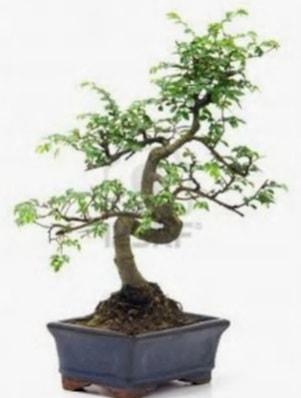 S gövde bonsai minyatür ağaç japon ağacı  Kırşehir çiçek gönderme
