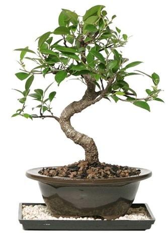 Altın kalite Ficus S bonsai  Kırşehir çiçek yolla  Süper Kalite