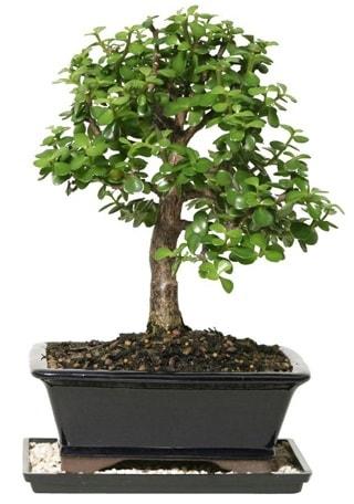 15 cm civarı Zerkova bonsai bitkisi  Kırşehir hediye çiçek yolla