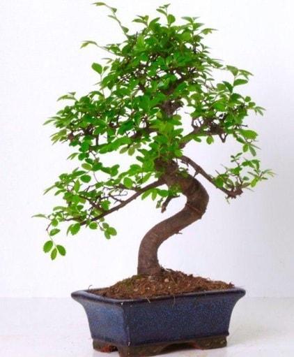 S gövdeli bonsai minyatür ağaç japon ağacı  Kırşehir çiçek yolla , çiçek gönder , çiçekçi