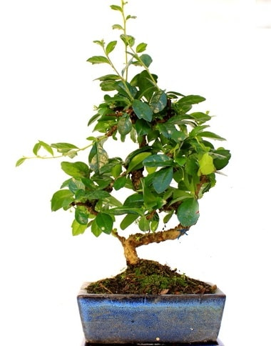 S gövdeli carmina bonsai ağacı  Kırşehir İnternetten çiçek siparişi  Minyatür ağaç