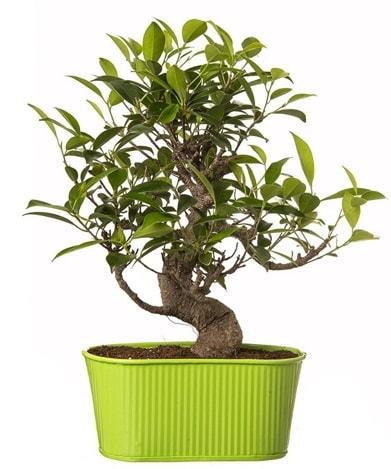 Ficus S gövdeli muhteşem bonsai  Kırşehir hediye çiçek yolla