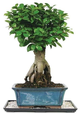 Bonsai Ginsing Grafted Ficus Bonsai  Kırşehir İnternetten çiçek siparişi