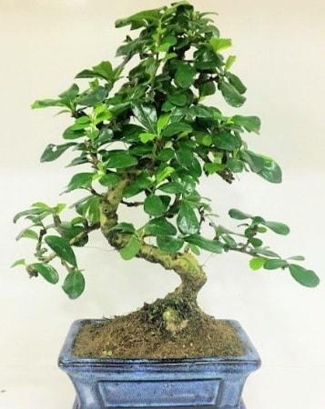 Zelkova S gövdeli Minyatür ağaç Bonzai  Kırşehir çiçek gönderme sitemiz güvenlidir
