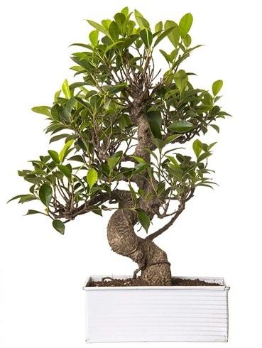 Exotic Green S Gövde 6 Year Ficus Bonsai  Kırşehir çiçek yolla , çiçek gönder , çiçekçi